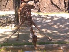 Philadelphia Zoo: Girafe