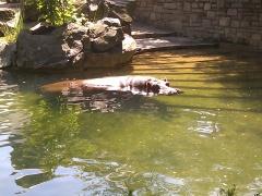 Philadelphia Zoo: Hippo